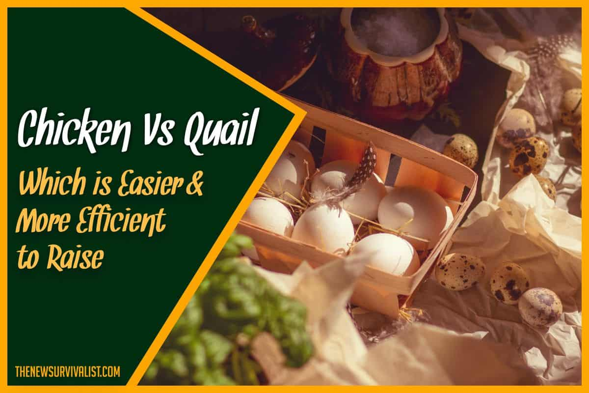 Chicken Vs Quail - Which is Easier & More Efficient to Raise