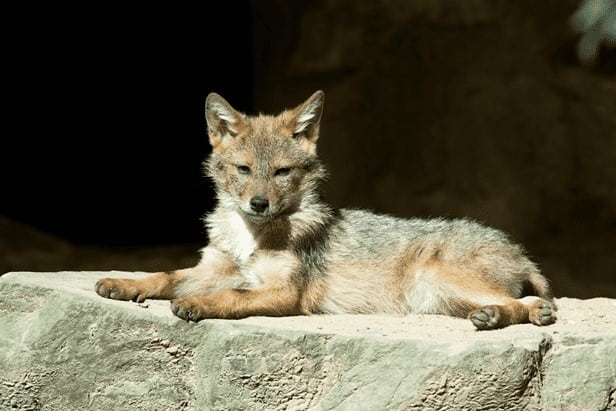 cayote on rock
