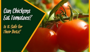 Can Chickens Eat Tomatoes Is It Safe for Their Diets
