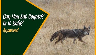 Can You Eat Coyote Is It Safe #Answered